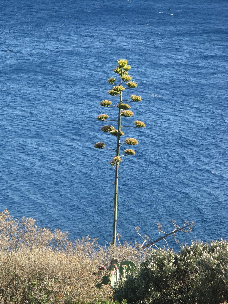Maguey flower